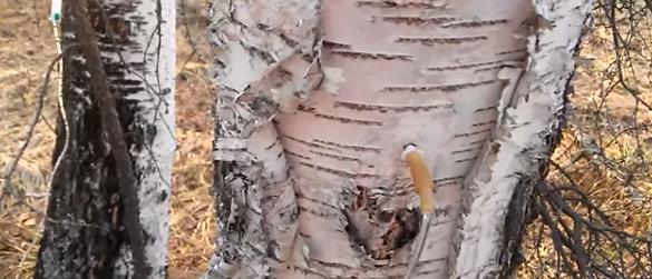 Orificiul în trunchiul mesteacănului