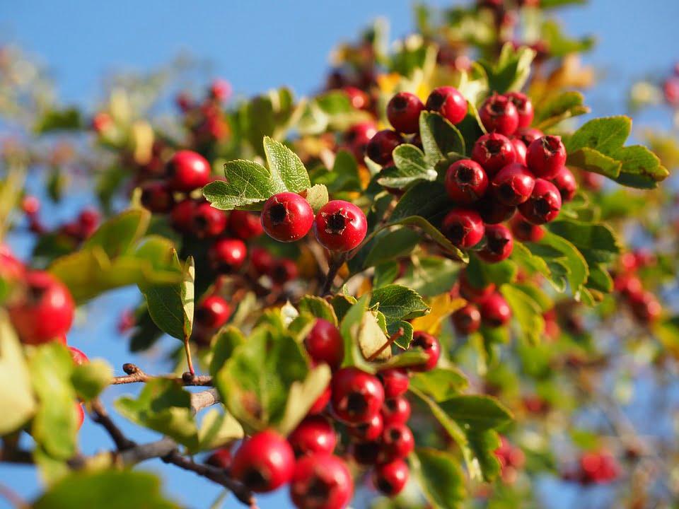 1-fructe-de-paducel