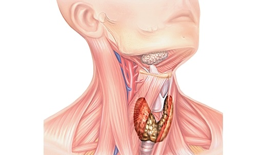 Glanda tiroidă, Foto: larousse.fr