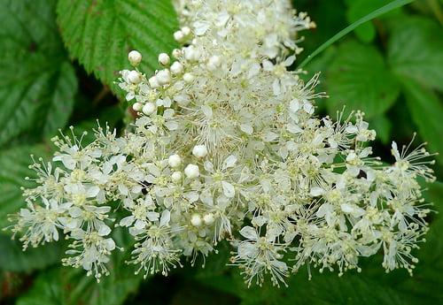 Flori de crețușcă, Foto: stikphotos.com