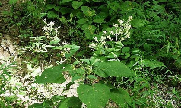 Planta Collinsonia canadensis, Foto: anybodyseenmyfocus.blogspot.com