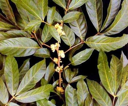 Muira puama (Ptychopetalum olacoides), Foto: snipview.com