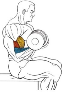 Flexia antebrațelor cu greutăți din poziția șezând, Foto: vashsport.com