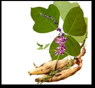 Rădăcina plantei Kudzu, Foto: theparasoltimes.com