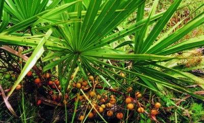 Palmierul pitic, Serenoa repens, Foto: herbalfire.com