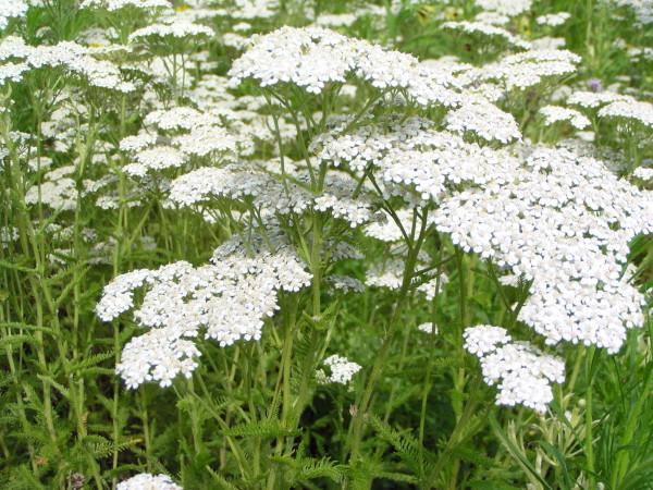 Coada șoricelului, Achillea millefolium, Foto: cannonvalleynursery.com