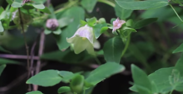 Planta danseng, specia Codonopsis pilosula