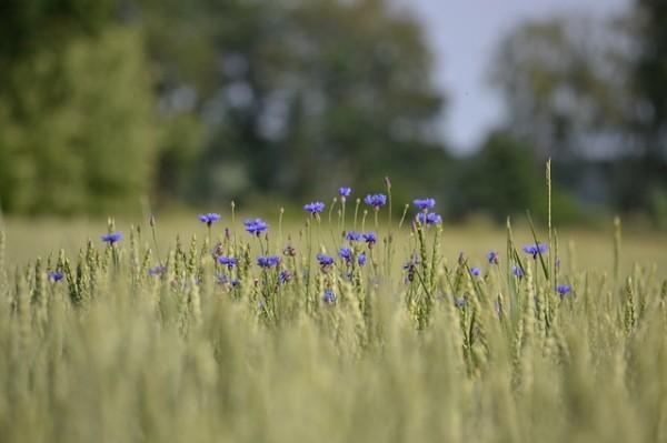 Albăstrele, Centaurea cyanus, Foto: pd4pic.com