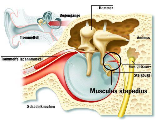 Mușchiul stapedius din urechea medie, Foto: muscular-system.blogspot.ro