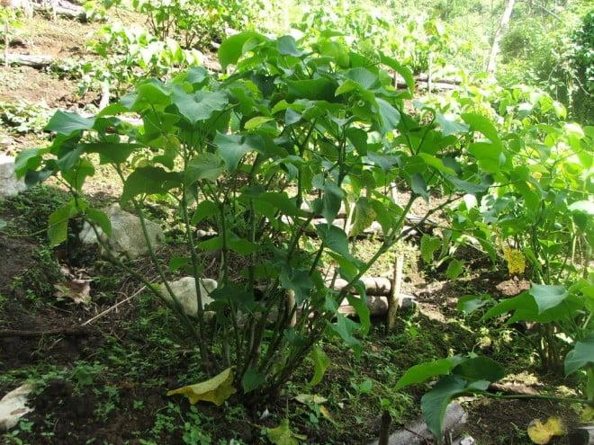 Kava kava - Piper methysticum, Foto: simonsblogpark.com