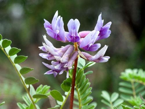 Astragalus membranaceus, Foto: thehotpepper.com