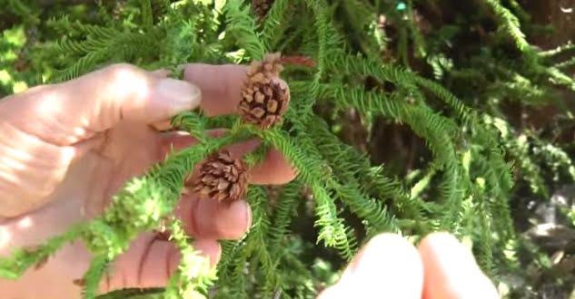 Cedrul-japonez, Cryptomeria japonica