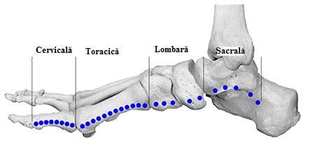 Zone reflexogene pentru vertebrele coloanei, Foto: touchpoint.dk