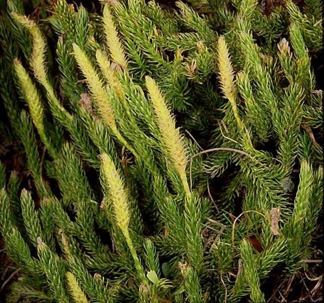 Lycopodium clavatum, Foto: flora.nhm-wien.ac.at