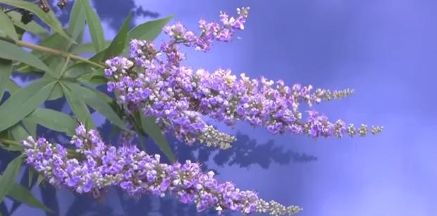 Florile copacului Vitex agnus-castus