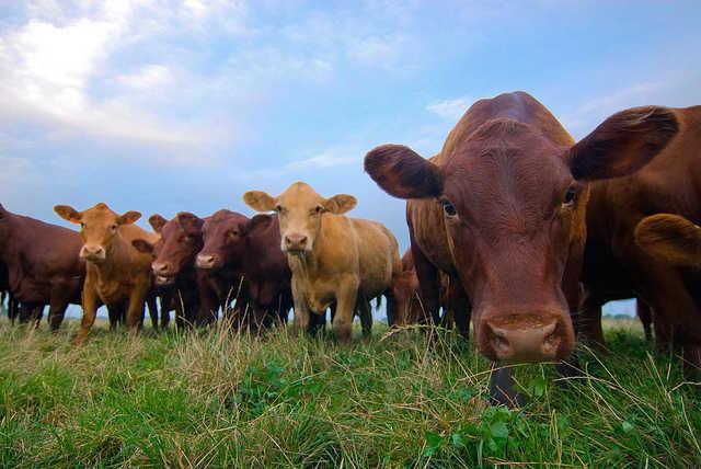 Vaci hrănite cu iarbă proaspătă, Foto: onegreenplanet.org