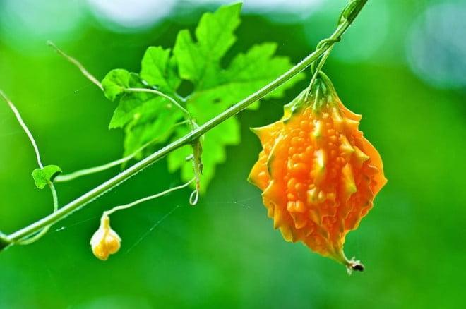 Fructul Momordica charantia copt complet, Foto: 4.bp.blogspot.com