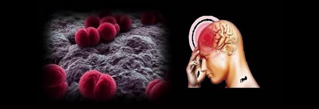 Bacteria Neisseria meningitidis care provoacă meningita