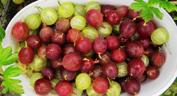 Agrișele, Ribes uva-crispa, Foto: irishexaminer.com
