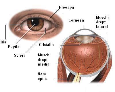 Anatomia ochiului, Foto: renania.ro