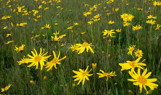 Arnica, Foto: gardenershq.com