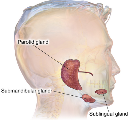 Cele trei perechi de glande salivare mari, Foto: imagekb.com