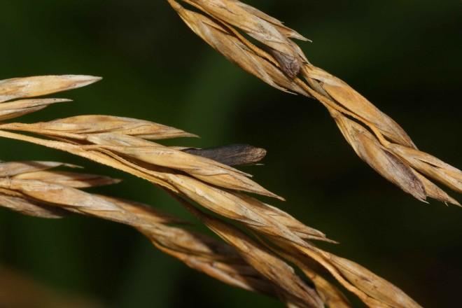Claviceps purpurea, Foto: fungalpunknature.co.uk