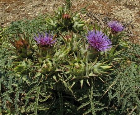 Cynara scolymus, Foto: maltawildplants.com