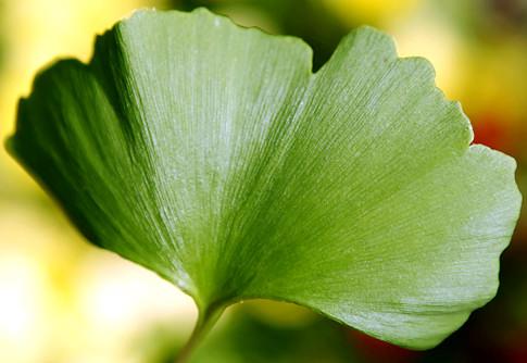 Frunze de Ginkgo biloba, Foto: honnunoghlutir.blogspot.com