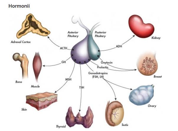 Glanda hipofiză sau pituitară, Foto: hubpages.com