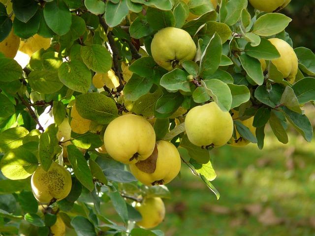 Gutui, Foto: pixabay.com