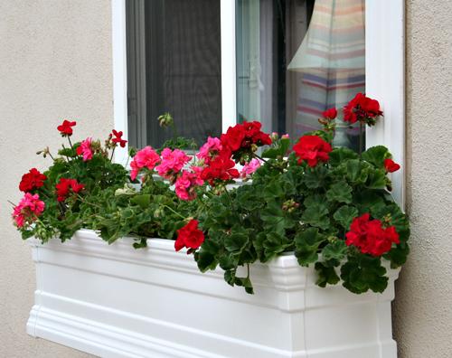 Mușcate, flori, Foto: whatfeedsmysoul-aha.blogspot.ro