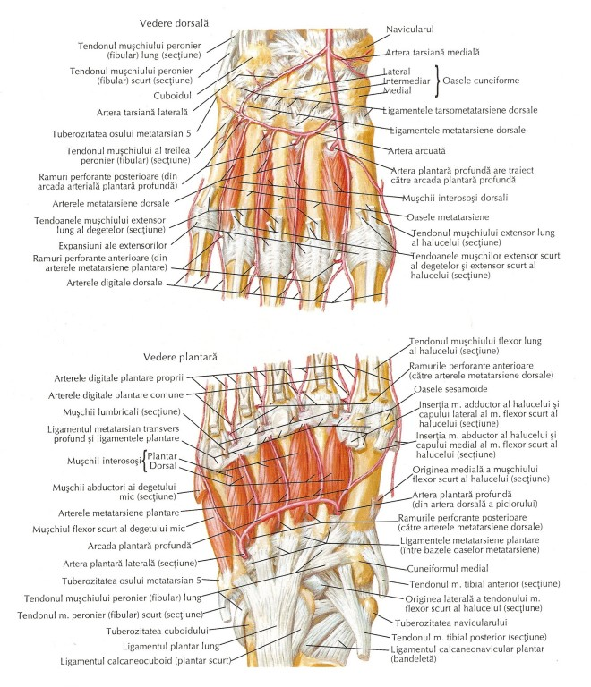 Mușchi interosoși