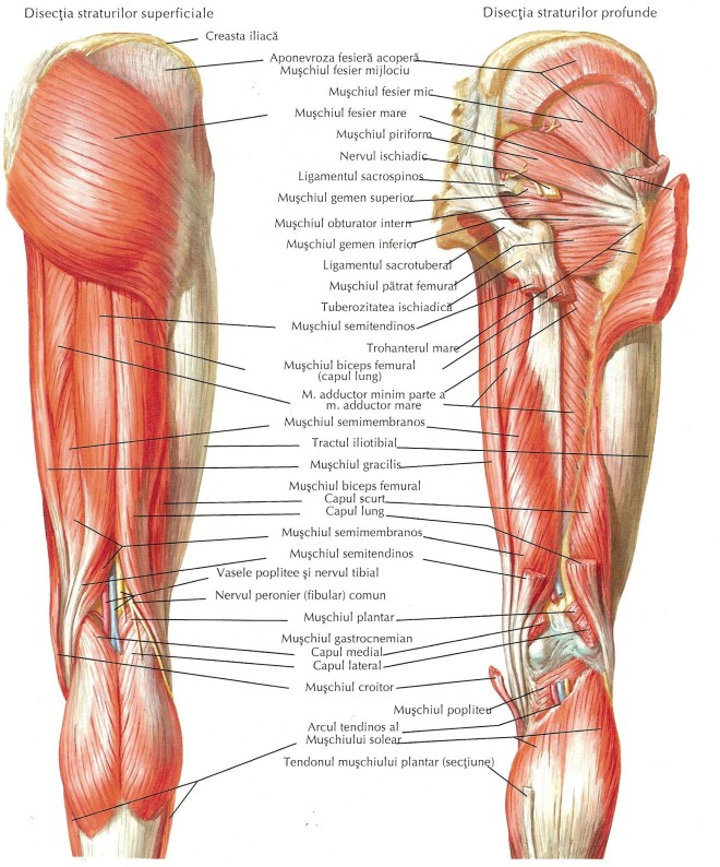 Mușchii șoldului și coapsei, vedere posterioară