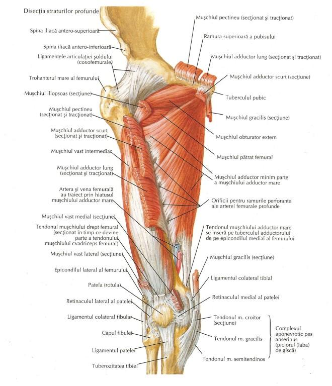 Mușchii coapsei