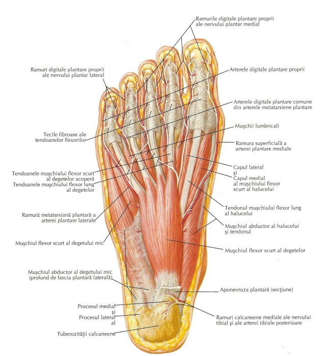 Mușchii feței plantare a piciorului (primul strat)