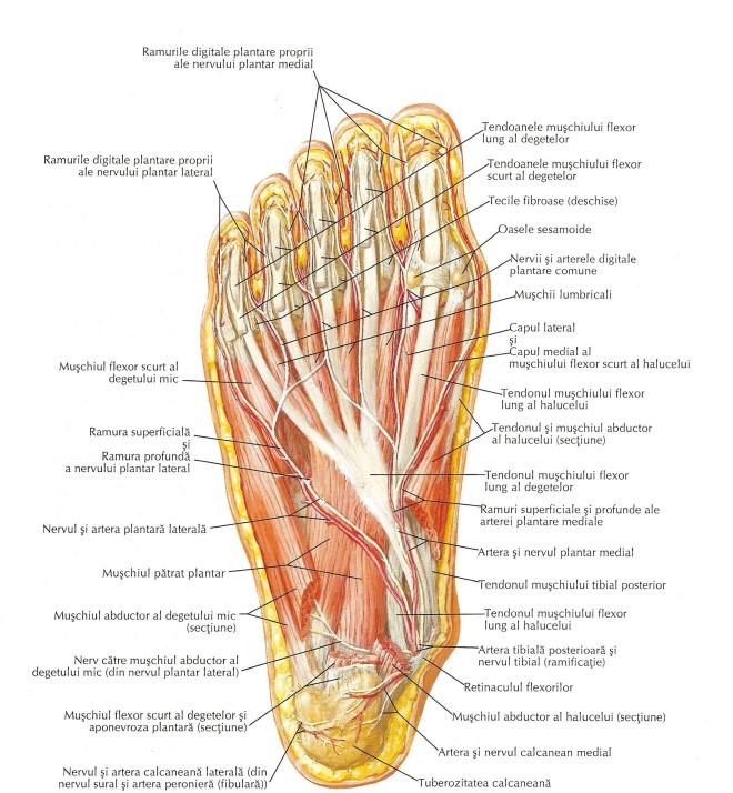 Mușchii feței plantare a piciorului (al doilea strat)