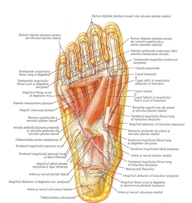 Mușchii feței plantare a piciorului (al treilea strat)