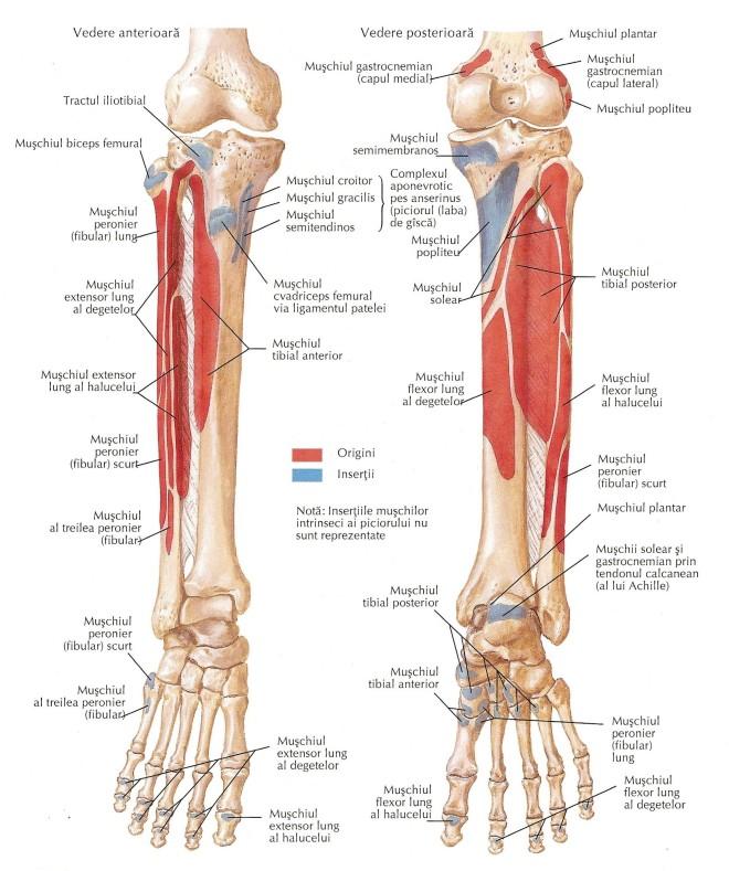 Mușchii gambei