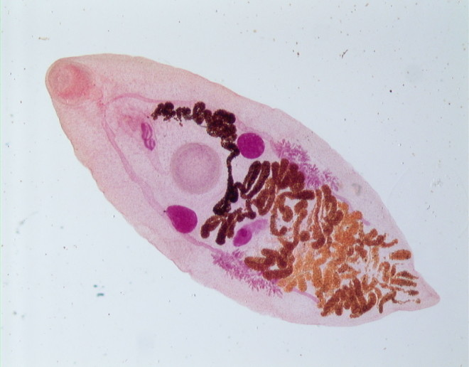 Nematodul Strongyloides produce migrene, Foto: naturalapachet.ro
