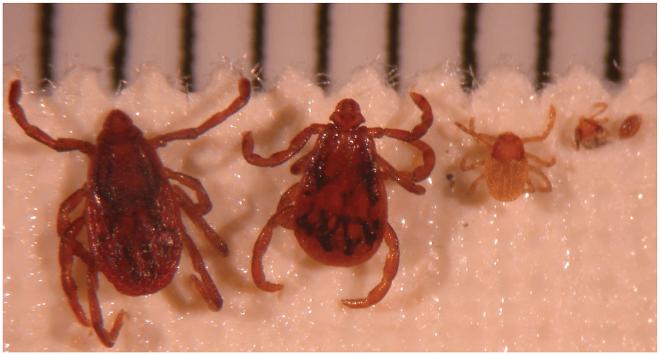 Rhipicephalus sanguineus este agentul patogen transmis prin căpușe și care provoac febra butunoasă, Foto: figshare.com
