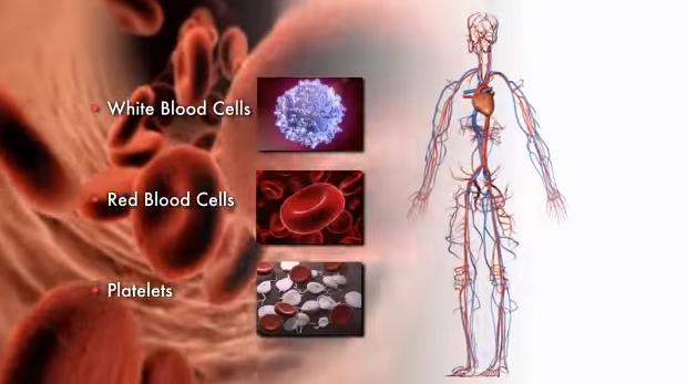 Sângele cuprinde globule albe, globule roșii și plasma sangvină