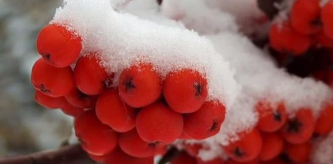 Scoruș de munte, fructele roșii, mici ca niște boabe de mazăre