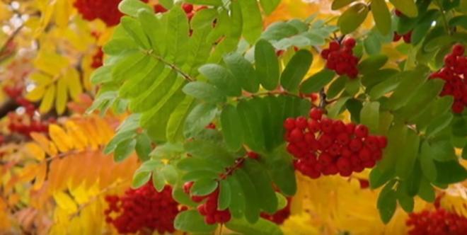 Scoruș de munte, frunzele și fructele