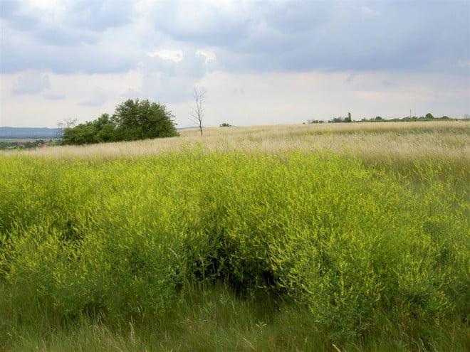 Sulfina crește pe câmp, în zone de stepă, Foto: botanische-spaziergaenge.at