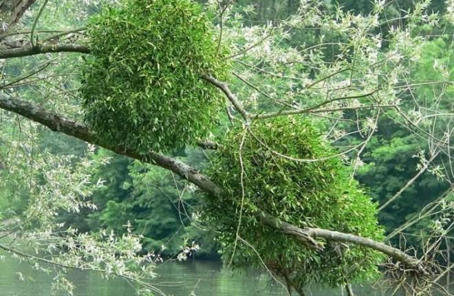 Vâscul este un parazit al arborilor din pădurile de foioase și conifere, Foto: o-polze.com