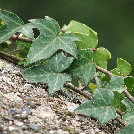 Iedera, o plantă eficientă în tratamentul celulitei, Foto: graycell.ru