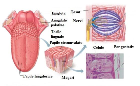Limba, organul gustativ, Foto: thesalience.wordpress.com