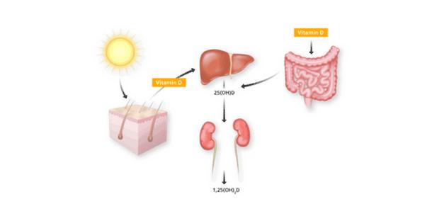 Vitamina D trebuie transformată de ficat și de rinichi pentru a deveni activă, Foto: inbiochem.com