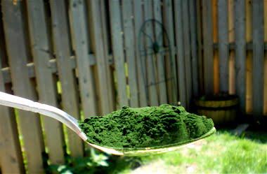 Alga Chlorella, Foto: gallery4share.com